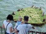 heart-island ducks