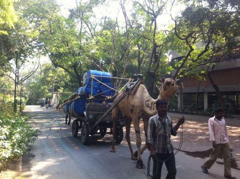 OI-Ahmedabad-camel